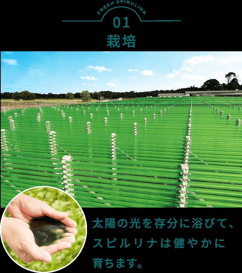 タベルモの生産 栽培
